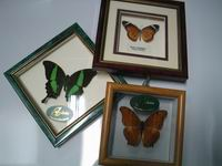Go to Local Framed Butterflies